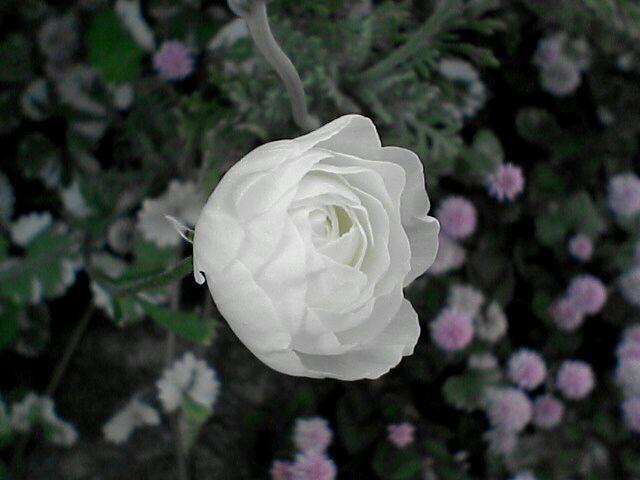 080523-10 ラナンキュラス、咲きかけの花のアップ