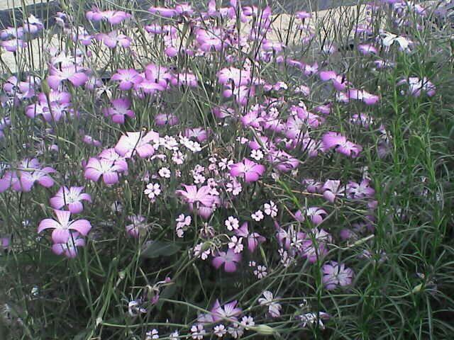 080609-08 ムギナデシコと謎の花