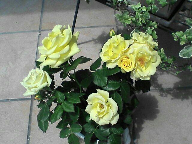080622-04 黄色のバラ