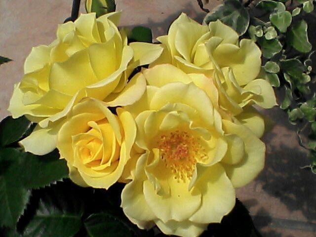 080622-05 黄色のバラ、アップ
