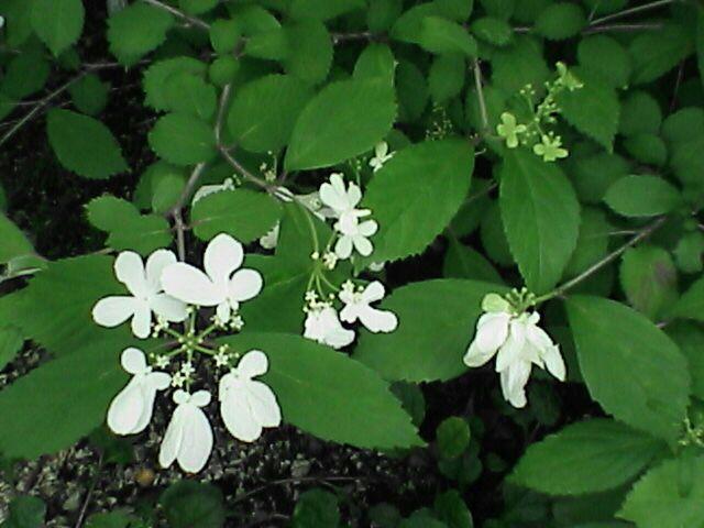 080611-07 謎の別の白い花