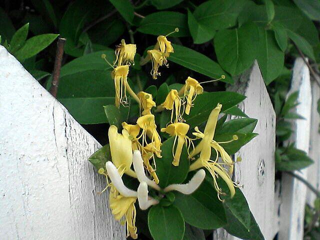 080612-01 謎の花、黄花と白ツボミ