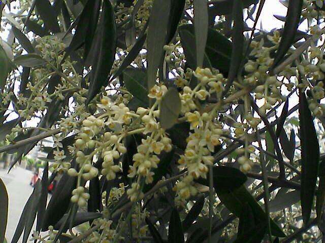 080622-09 オリーブの花