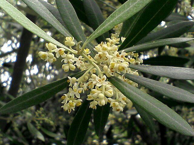080622-10 オリーブの花と葉