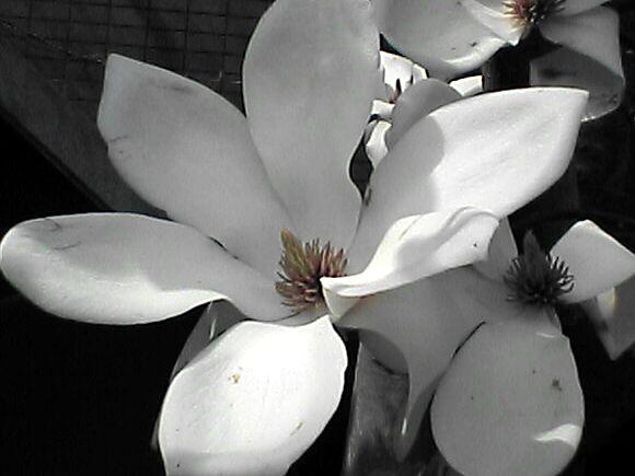 白木蓮の花のアップ