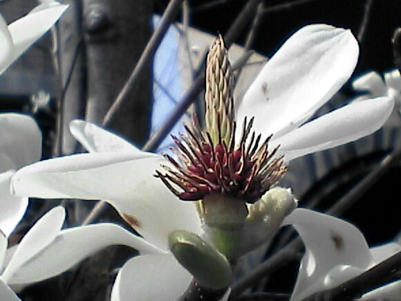 散った白木蓮の花のアップ