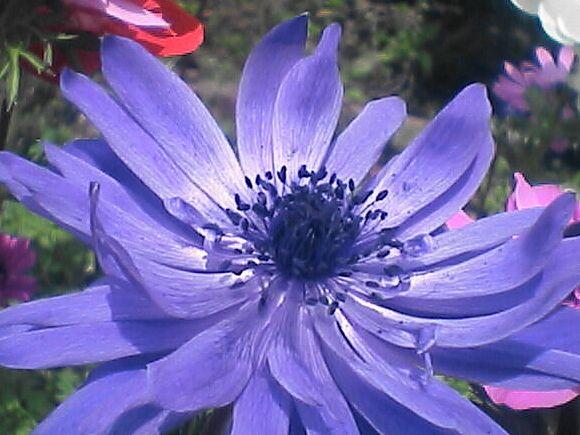 アネモネ(紫)