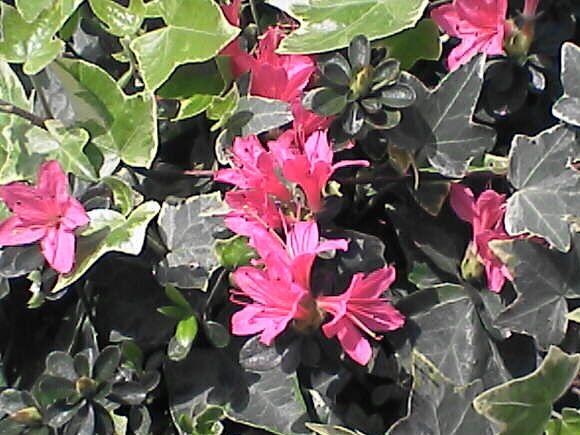 ツツジの花withツタの葉