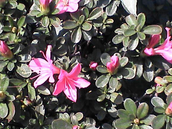 ツツジの花と葉