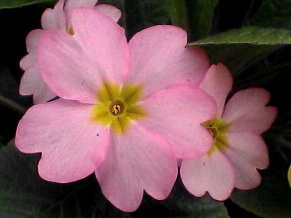 花壇の花・ピンク