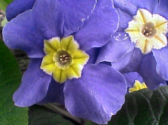 花壇の花・青