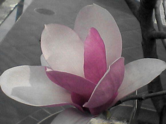 モクレンの花(斜め)