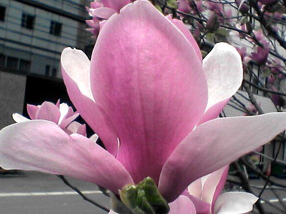 モクレンの花(外)