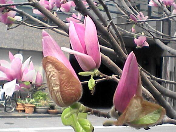 モクレンの花(ツボミ)