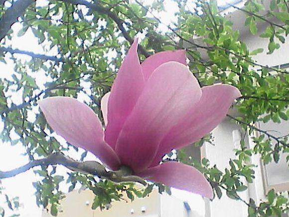 モクレンの花(アップ)