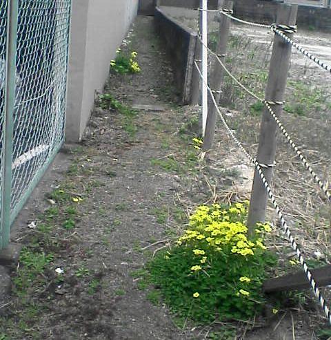 オキザリスの咲く小径