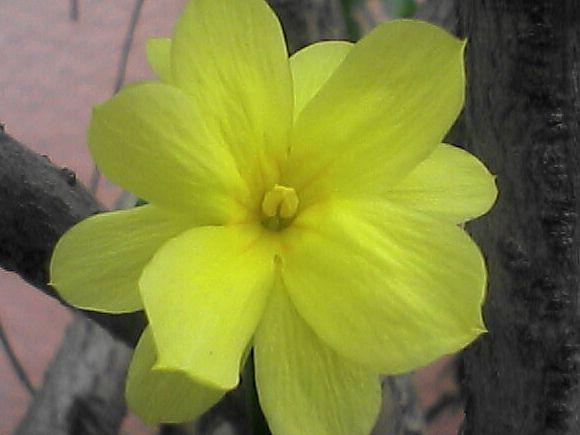 ウンナンオウバイの花のアップ