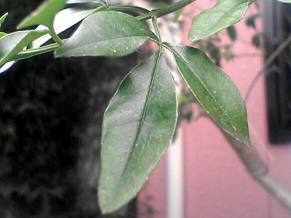 ウンナンオウバイの葉
