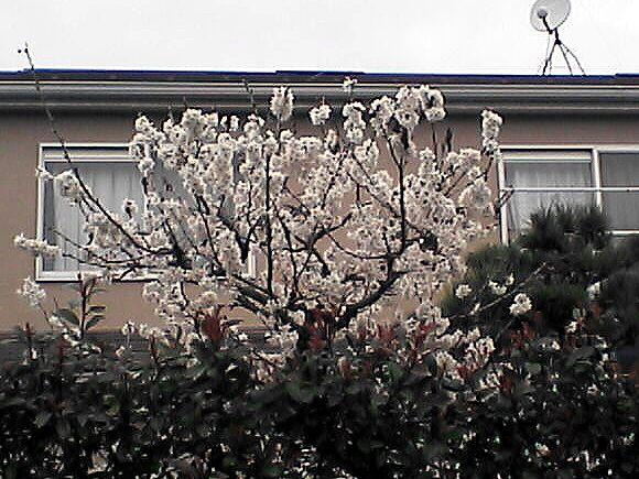 薄桃色の木の花1