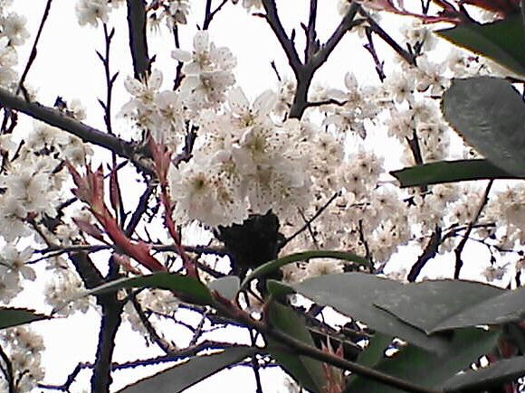 薄桃色の木の花2