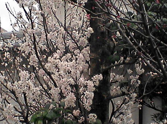 薄桃色の木の花3