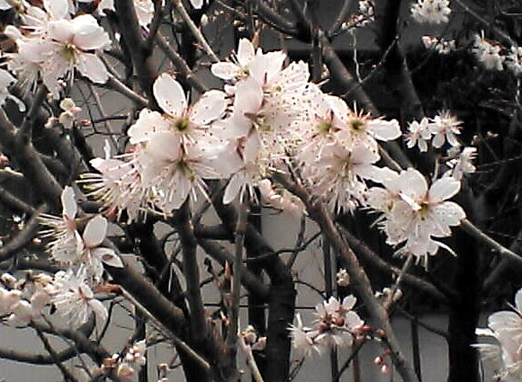 薄桃色の木の花4