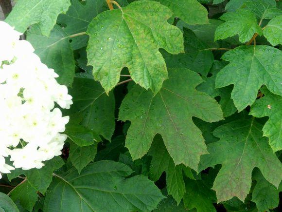 カシワバアジサイ葉