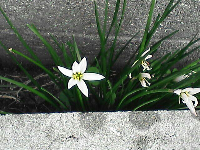 花4ゼフィランサス