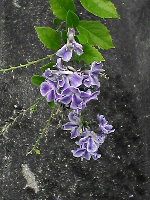 花10デュランタタカラヅカ