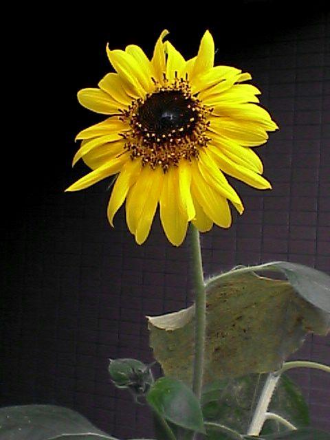 花11ヒマワリ