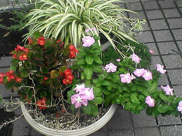 花13ベゴニアとオリヅルラン