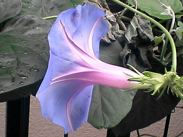 花14セイヨウアサガオ