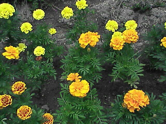 花15マリーゴールド
