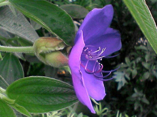 紫紺野牡丹4