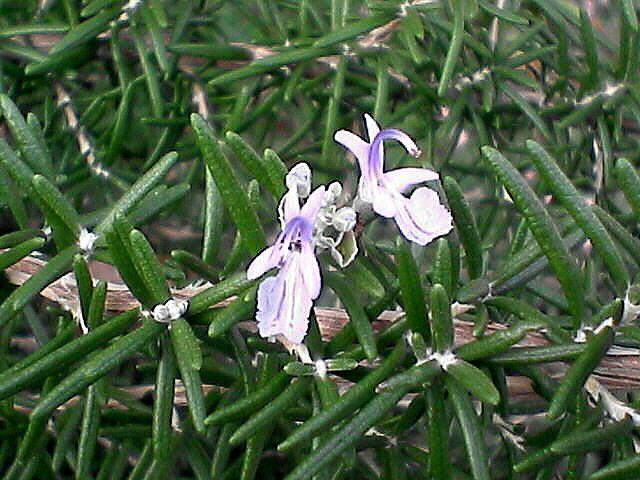 ハーブの花1
