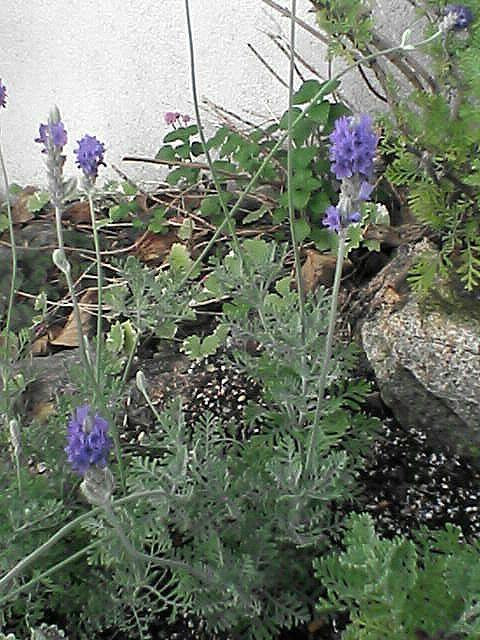 ハーブの花2
