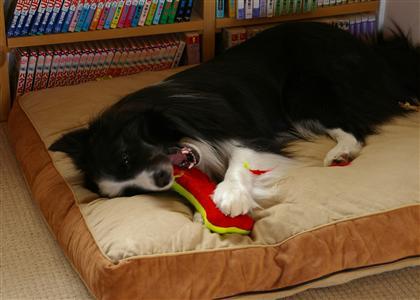 家では大概こんな・・・興奮もしませんけどね〜(^_^;)問題は対犬の遊びたパニックだな〜