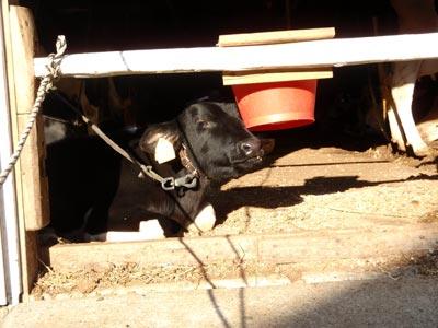 百草ファームの子牛