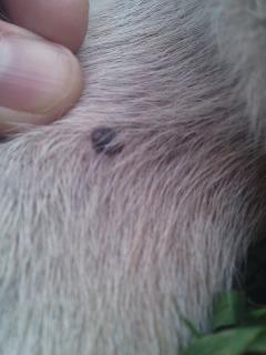 犬 イボ 画像