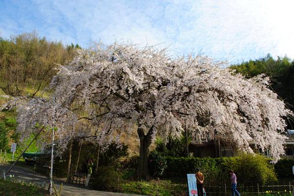 枝垂れ桜-2.jpg