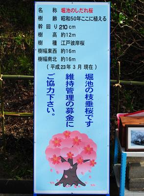 枝垂れ桜-4.jpg