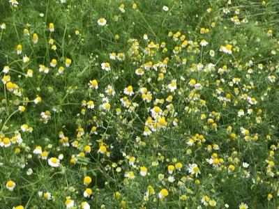 カモマイルの花