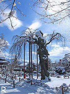 正永寺桜・冬
