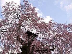 高松薬師堂の桜