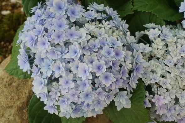 兵庫県立淡路夢舞台温室【奇跡の星の植物館】青色紫陽花