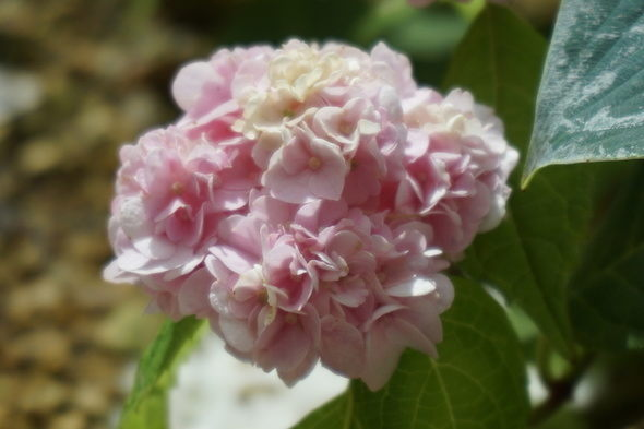 兵庫県立淡路夢舞台温室【奇跡の星の植物館】ピンク色アジサイ