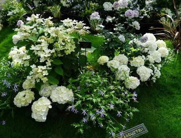 兵庫県立淡路夢舞台温室【奇跡の星の植物館】白色あじさい