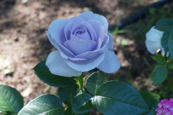 兵庫県立淡路夢舞台温室【奇跡の星の植物館】紫色のバラ