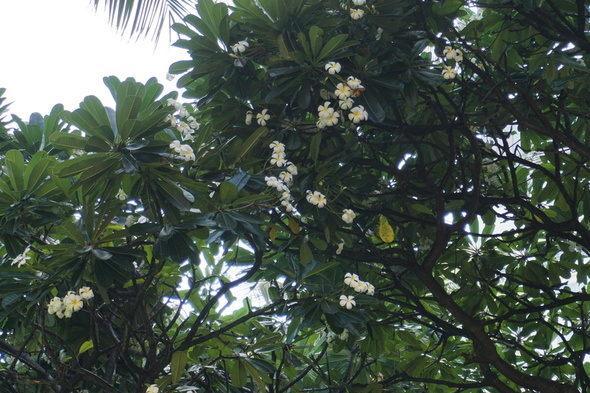 ハワイ ホノルル プルメリア