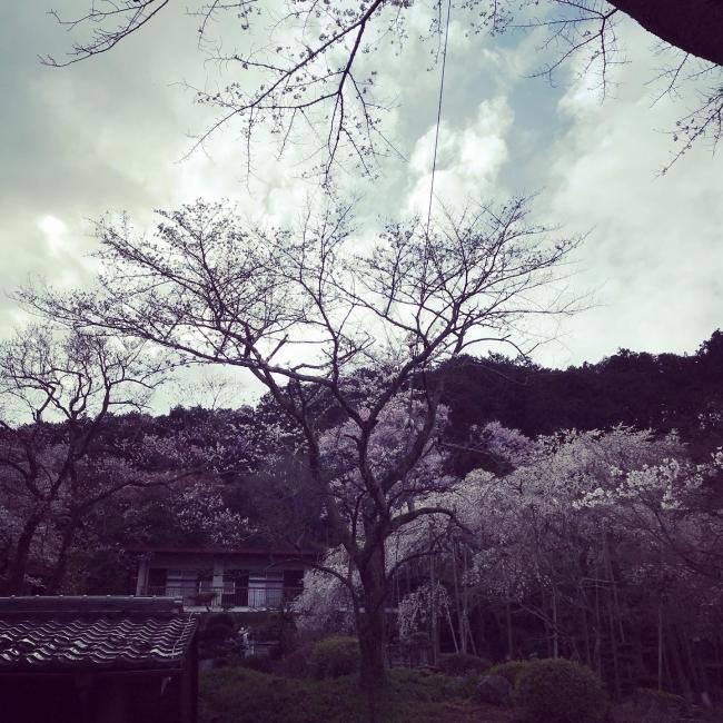 岐阜 池田山 桜